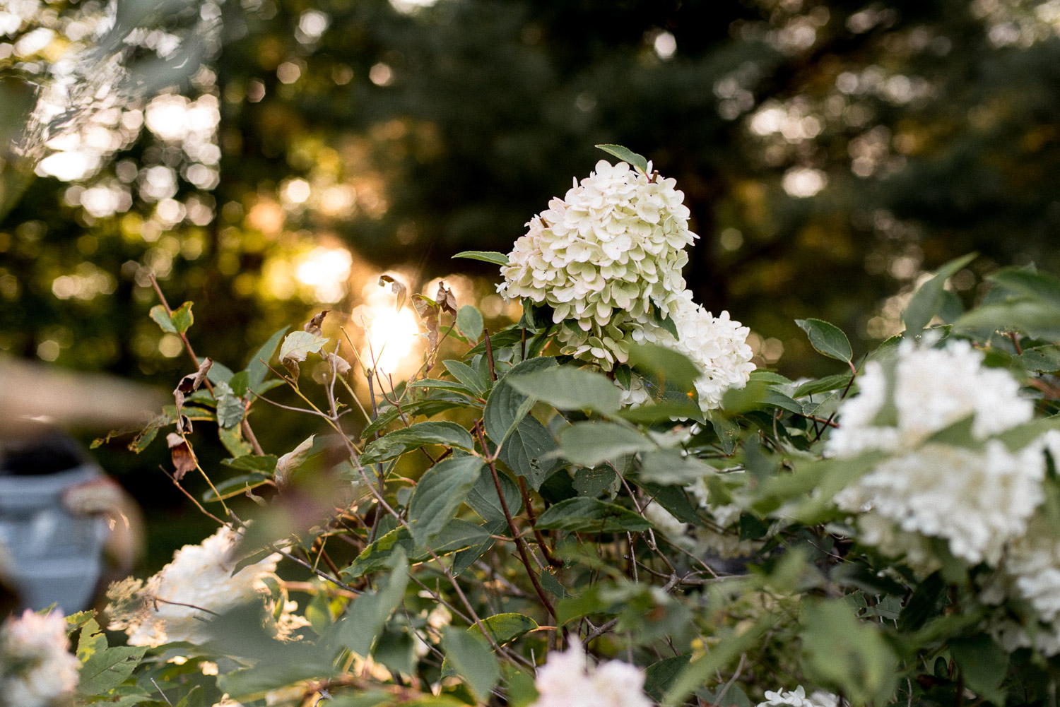 hydrangea plant at Ontario cottage